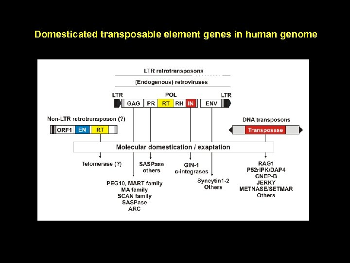 Domesticated transposable element genes in human genome