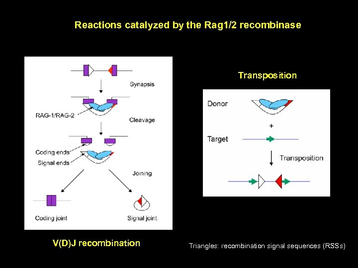 Reactions catalyzed by the Rag 1/2 recombinase Transposition V(D)J recombination Triangles: recombination signal sequences