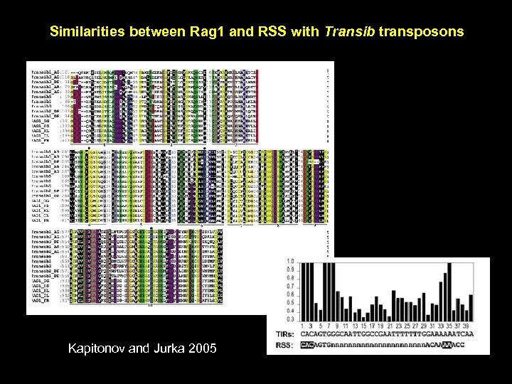 Similarities between Rag 1 and RSS with Transib transposons Kapitonov and Jurka 2005