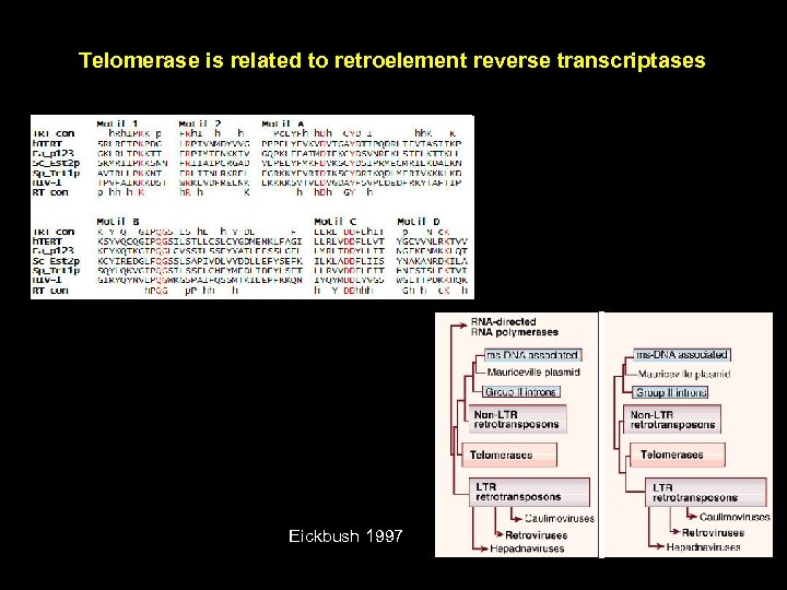 Telomerase is related to retroelement reverse transcriptases Eickbush 1997