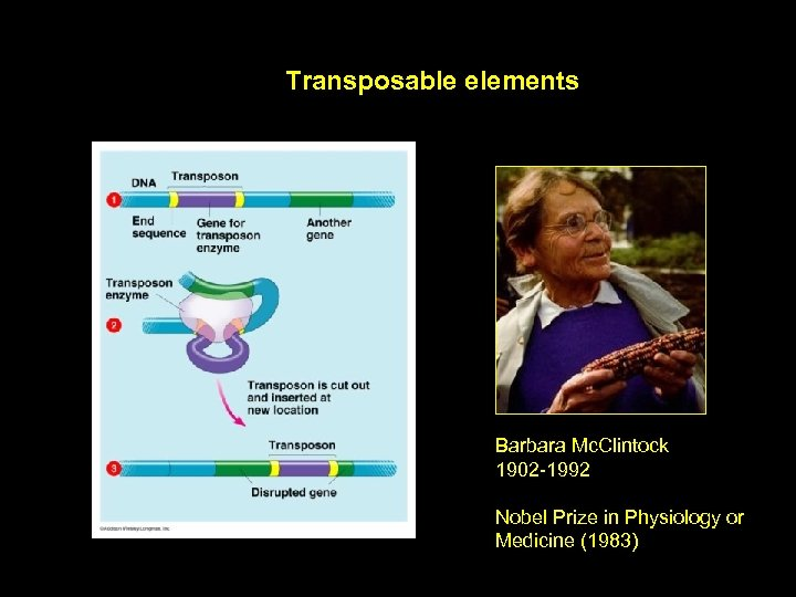 Transposable elements Barbara Mc. Clintock 1902 -1992 Nobel Prize in Physiology or Medicine (1983)