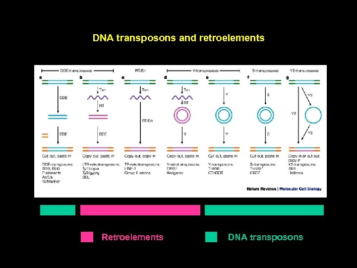 DNA transposons and retroelements Retroelements DNA transposons
