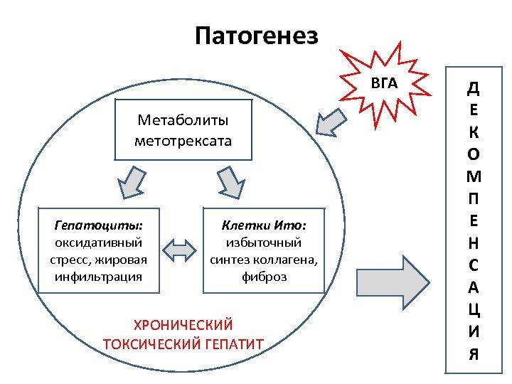 Патогенез ВГА Метаболиты метотрексата Гепатоциты: оксидативный стресс, жировая инфильтрация Клетки Ито: избыточный синтез коллагена,