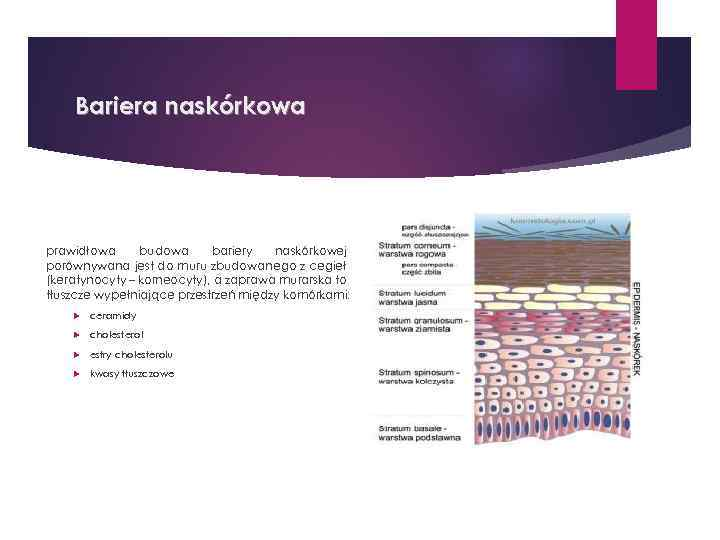 Bariera naskórkowa prawidłowa budowa bariery naskórkowej porównywana jest do muru zbudowanego z cegieł (keratynocyty