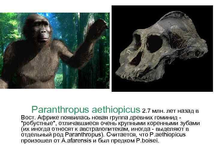 Paranthropus aethiopicus 2. 7 млн. лет назад в Вост. Африке появилась новая группа древних
