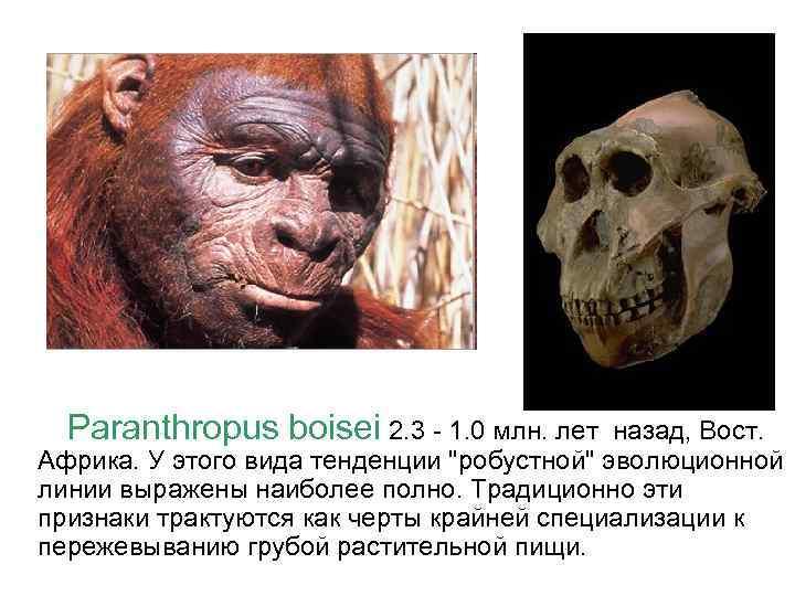 Paranthropus boisei 2. 3 - 1. 0 млн. лет назад, Вост. Африка. У этого