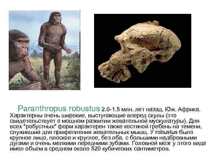 Paranthropus robustus 2. 0 -1. 5 млн. лет назад, Юж. Африка. Характерны очень широкие,