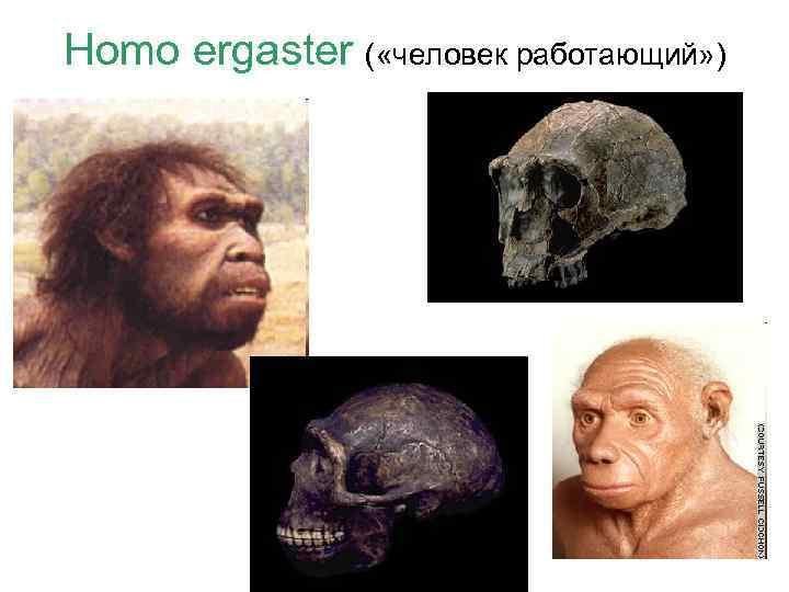 Homo ergaster ( «человек работающий» )