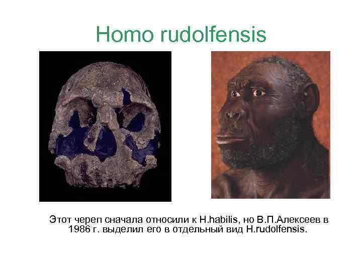 Homo rudolfensis Этот череп сначала относили к H. habilis, но В. П. Алексеев в