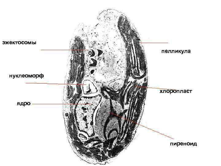 эжектосомы пелликула нуклеоморф хлоропласт ядро пиреноид