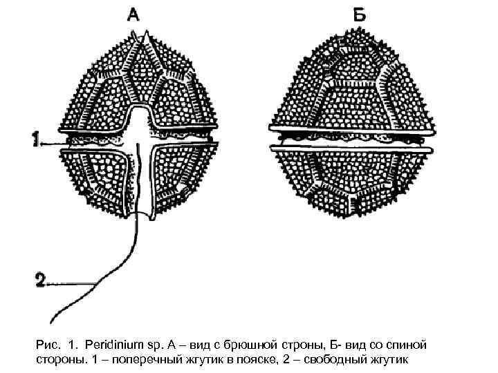 Рис. 1. Peridinium sp. А – вид с брюшной строны, Б- вид со спиной