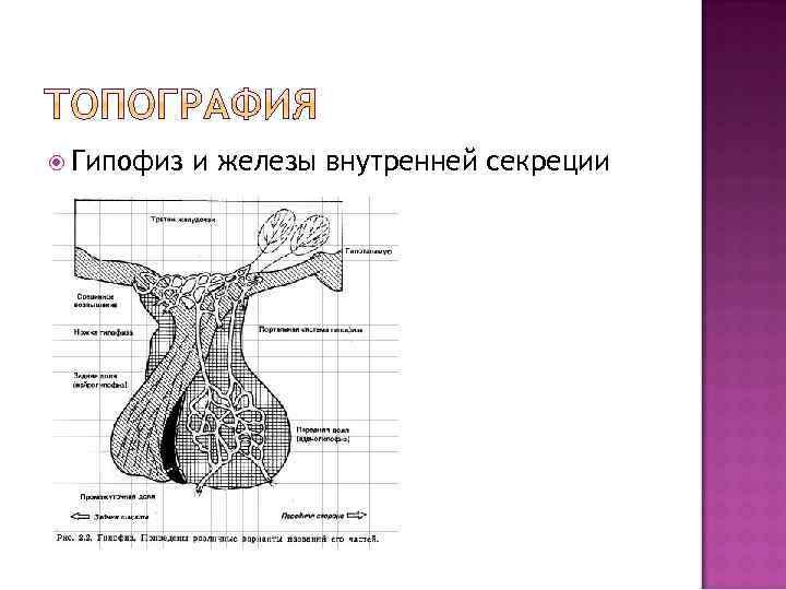 Гипофиз и железы внутренней секреции