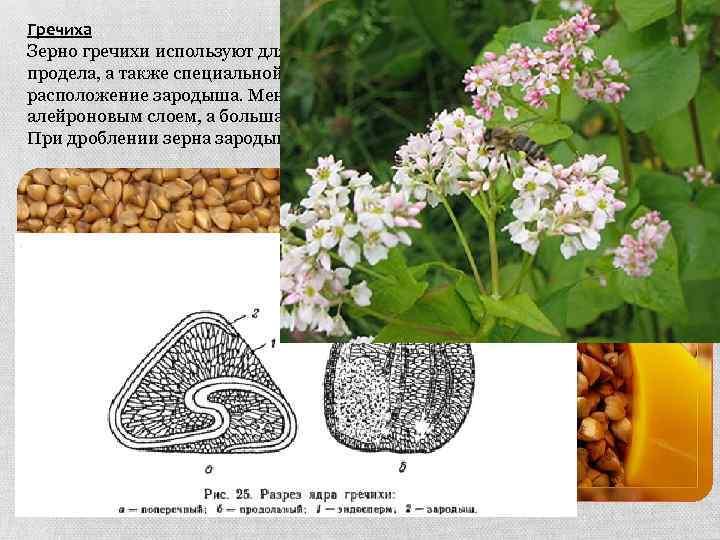 Гречиха Зерно гречихи используют для производства гречневой крупы: ядрицы и продела, а также специальной