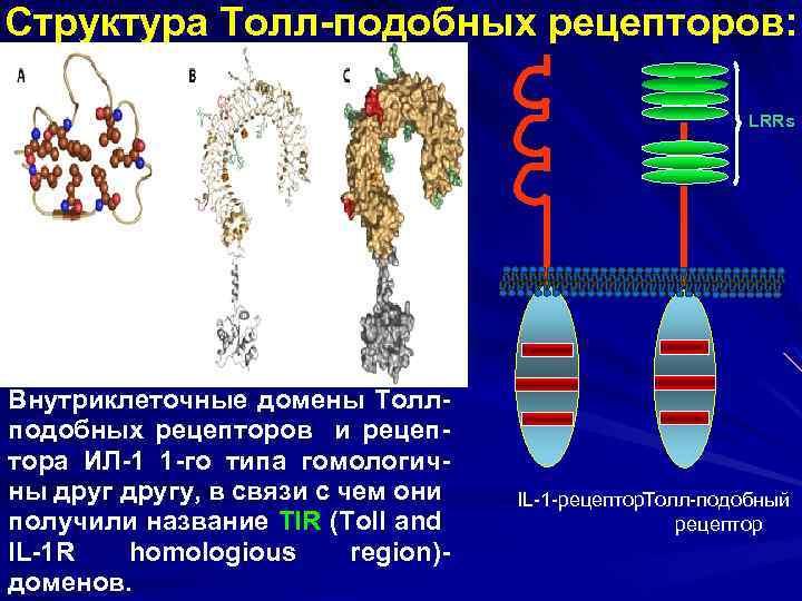 Структура Толл-подобных рецепторов: LRRs Внутриклеточные домены Толлподобных рецепторов и рецептора ИЛ-1 1 -го типа