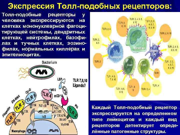 Экспрессия Толл-подобных рецепторов: Толл-подобные рецепторы у человека экспрессируются на клетках мононуклеарной фагоцитирующей системы, дендритных