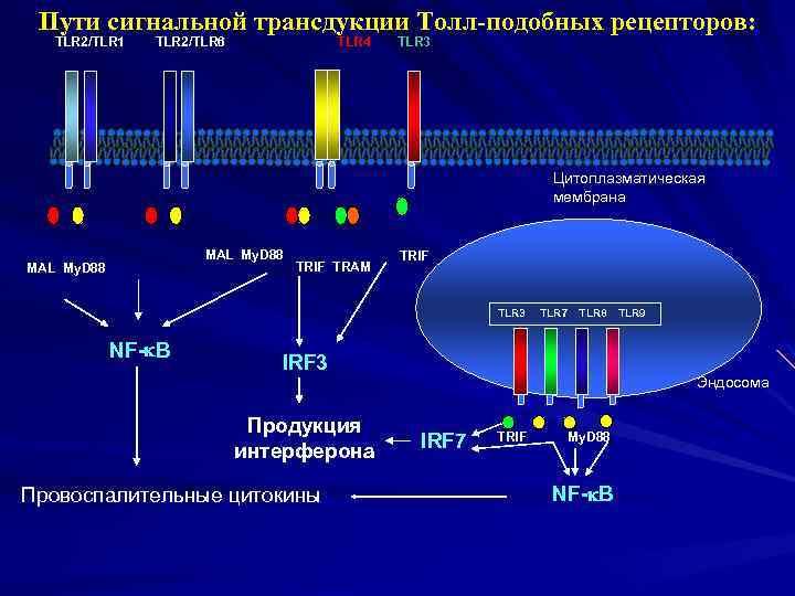 Пути сигнальной трансдукции Толл-подобных рецепторов: TLR 2/TLR 1 TLR 2/TLR 6 TLR 4 TLR