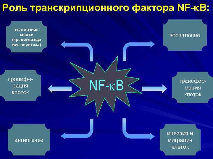 Роль транскрипционного фактора NF- B: выживание клетки (предотвраще ние апоптоза) пролиферация клеток ангиогенез воспаление