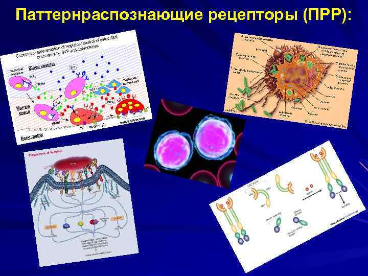 Паттернраспознающие рецепторы (ПРР):