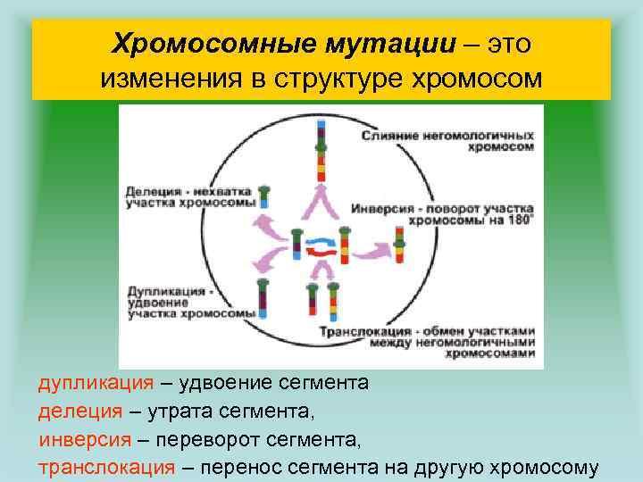 Хромосомные мутации – это изменения в структуре хромосом дупликация – удвоение сегмента делеция –