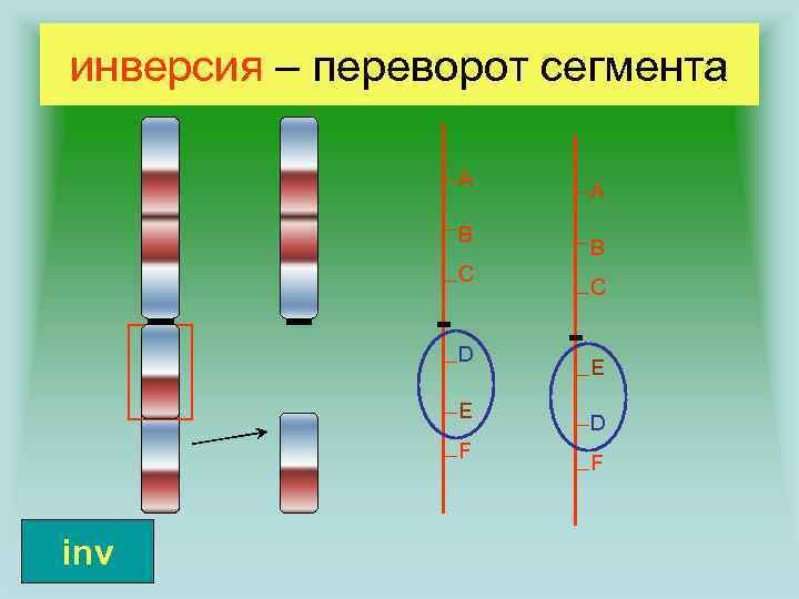 инверсия – переворот сегмента A B C D E F inv A B C