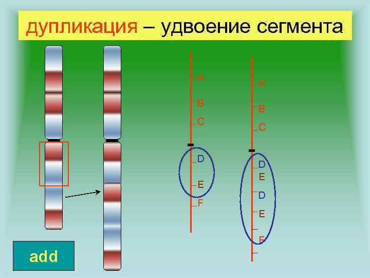 дупликация – удвоение сегмента A B C D E F add