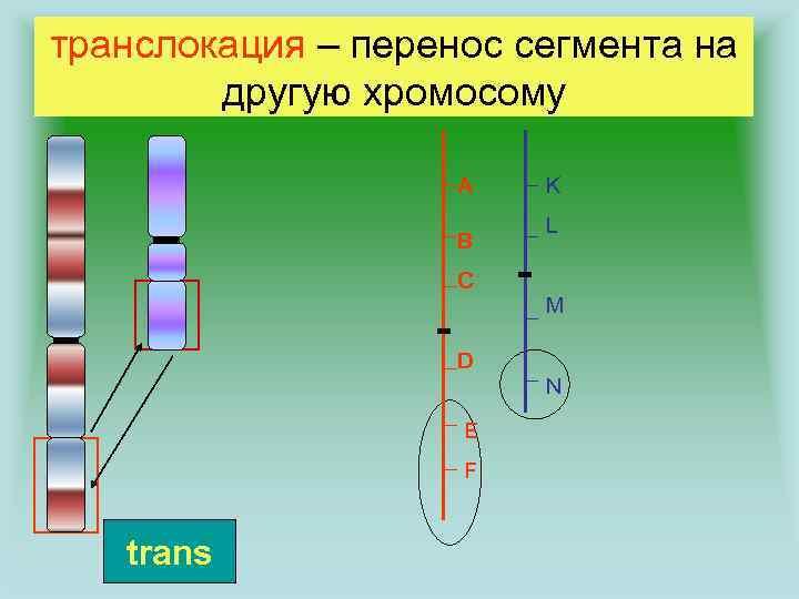 транслокация – перенос сегмента на другую хромосому A B C K L M D