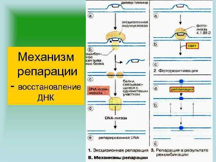 Механизм репарации - восстановление ДНК