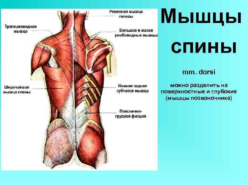 Мышцы спины mm. dorsi можно разделить на поверхностные и глубокие (мышцы позвоночника)