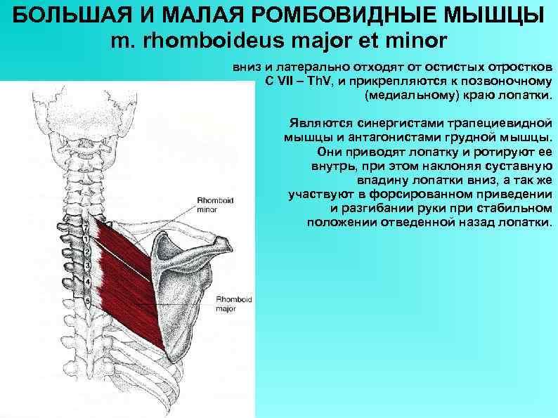 БОЛЬШАЯ И МАЛАЯ РОМБОВИДНЫЕ МЫШЦЫ m. rhomboideus major et minor вниз и латерально отходят