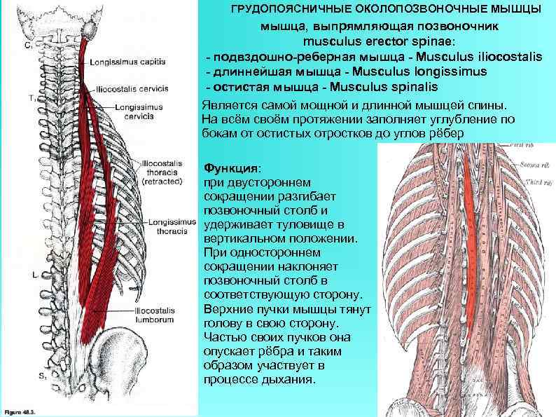 ГРУДОПОЯСНИЧНЫЕ ОКОЛОПОЗВОНОЧНЫЕ МЫШЦЫ мышца, выпрямляющая позвоночник musculus erector spinae: - подвздошно-реберная мышца - Musculus