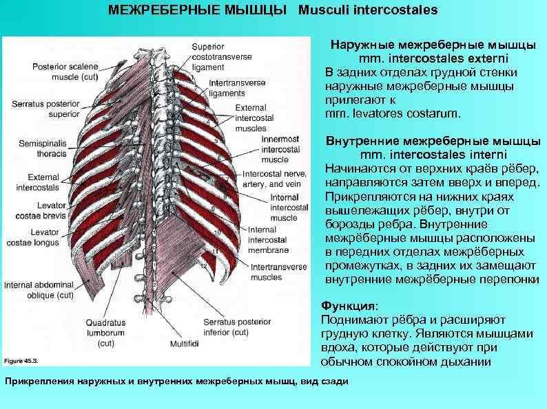 МЕЖРЕБЕРНЫЕ МЫШЦЫ Musculi intercostales Наружные межреберные мышцы mm. intercostales externi В задних отделах грудной