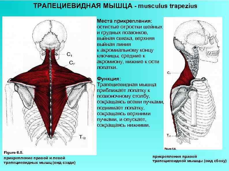 ТРАПЕЦИЕВИДНАЯ МЫШЦА - musculus trapezius Места прикрепления: остистые отростки шейных и грудных позвонков, выйная
