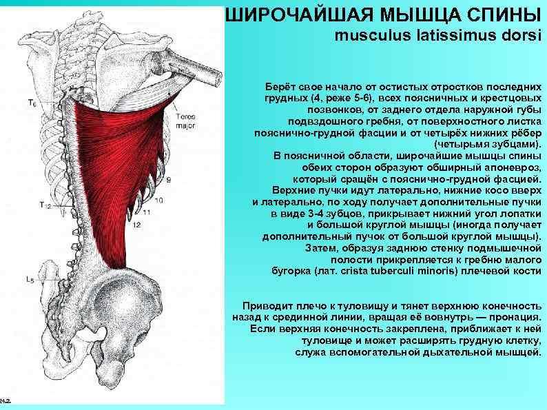 ШИРОЧАЙШАЯ МЫШЦА СПИНЫ musculus latissimus dorsi Берёт свое начало от остистых отростков последних грудных