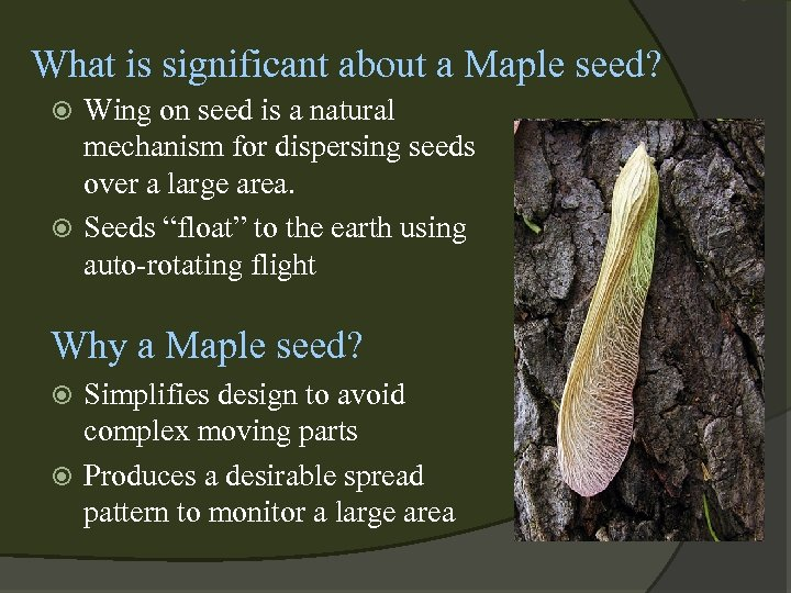 What is significant about a Maple seed? Wing on seed is a natural mechanism