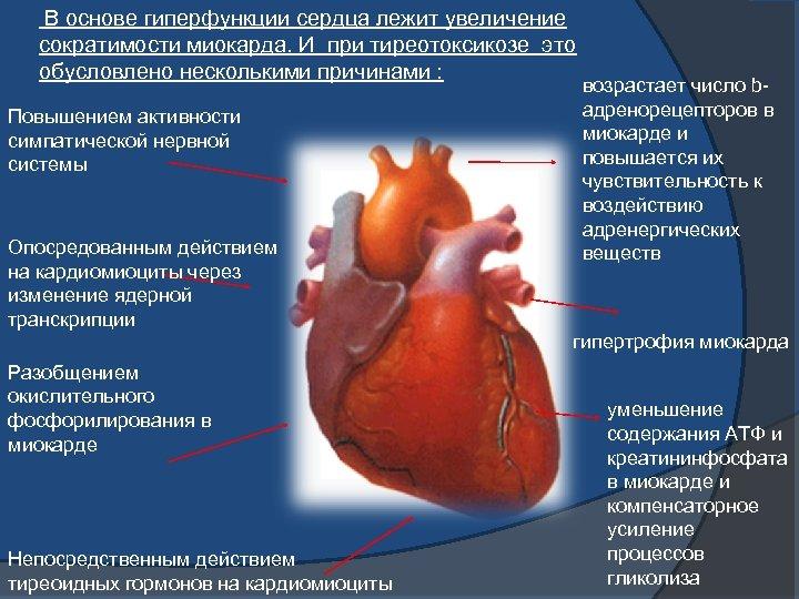 В основе гиперфункции сердца лежит увеличение сократимости миокарда. И при тиреотоксикозе это обусловлено несколькими