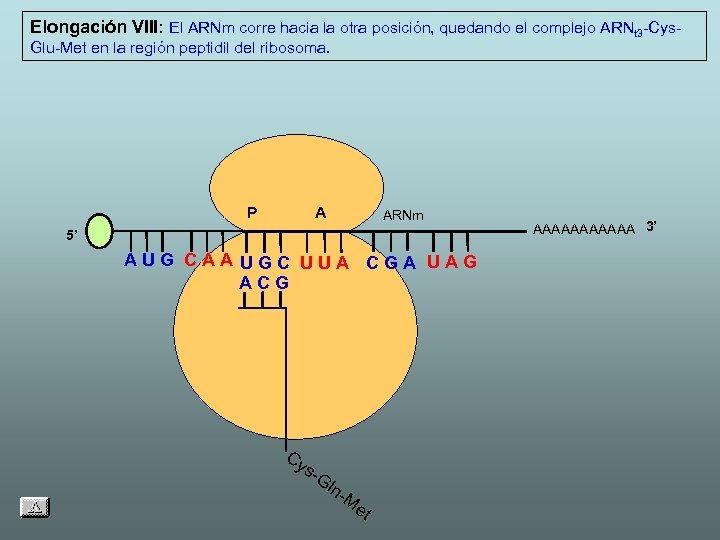 Elongación VIII: El ARNm corre hacia la otra posición, quedando el complejo ARNt 3