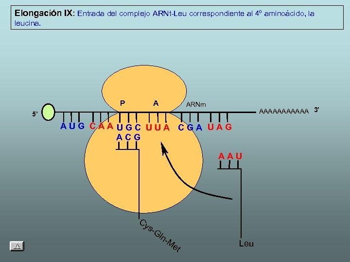 Elongación IX: Entrada del complejo ARNt-Leu correspondiente al 4º aminoácido, la leucina. P A