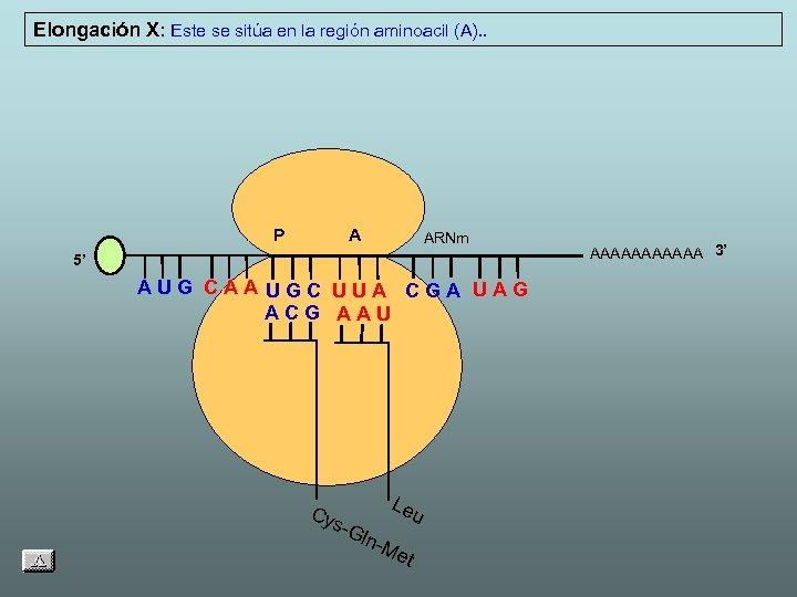 Elongación X: Este se sitúa en la región aminoacil (A). . P A ARNm