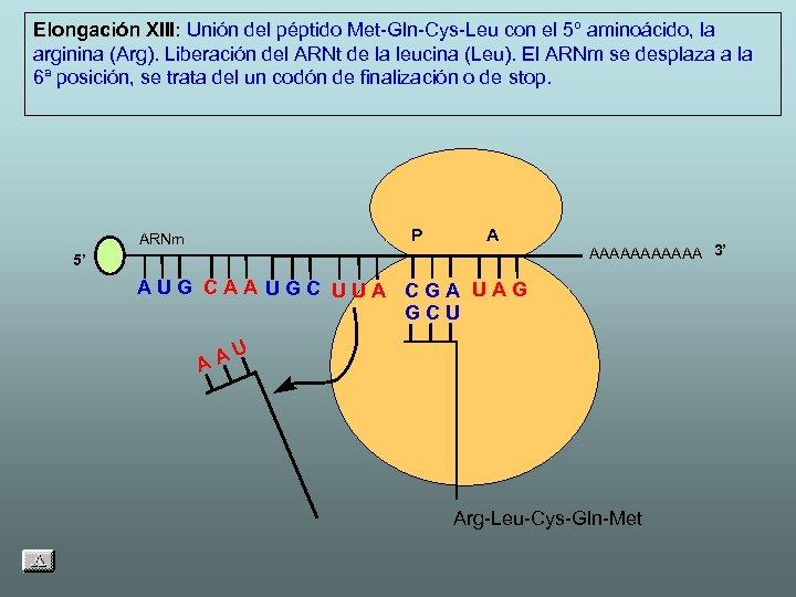 Elongación XIII: Unión del péptido Met-Gln-Cys-Leu con el 5º aminoácido, la arginina (Arg). Liberación
