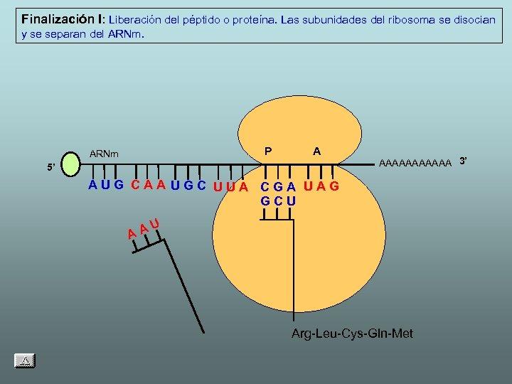 Finalización I: Liberación del péptido o proteína. Las subunidades del ribosoma se disocian y
