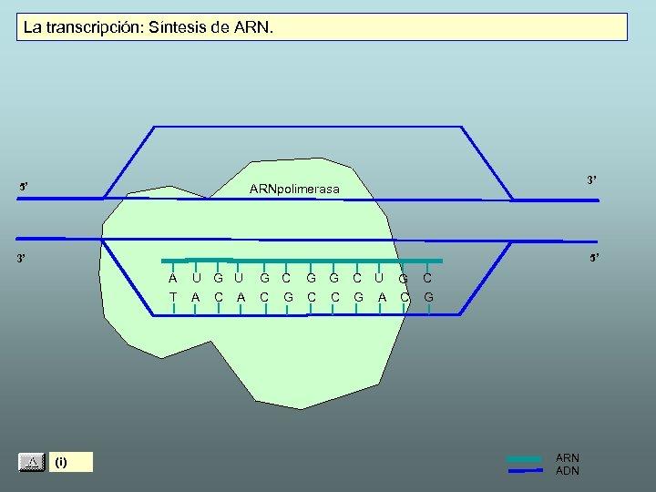 La transcripción: Síntesis de ARN. 5' 3' ARNpolimerasa 5' 3' A T (i) U