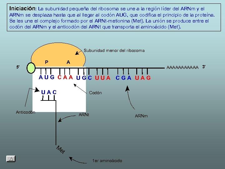 Iniciación: La subunidad pequeña del ribosoma se une a la región líder del ARNm