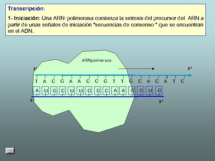 Transcripción: 1 - Iniciación: Una ARN‑polimerasa comienza la síntesis del precursor del ARN a