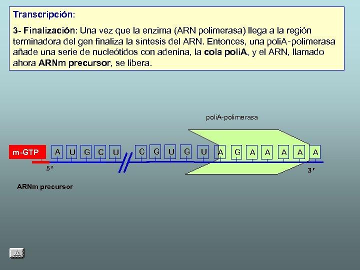 Transcripción: 3 - Finalización: Una vez que la enzima (ARN polimerasa) llega a la
