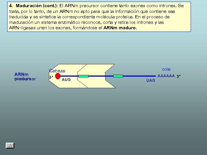 4. Maduración (cont. ): El ARNm precursor contiene tanto exones como intrones. Se trata,