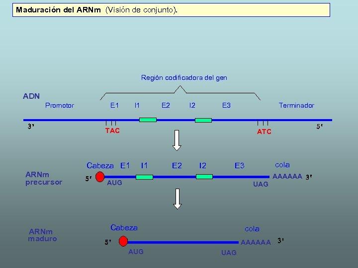 Maduración del ARNm (Visión de conjunto). Región codificadora del gen ADN Promotor E 1