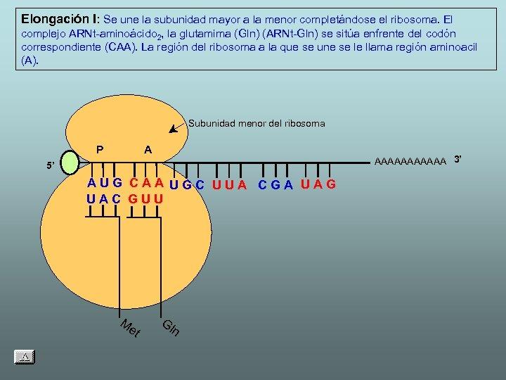 Elongación I: Se une la subunidad mayor a la menor completándose el ribosoma. El