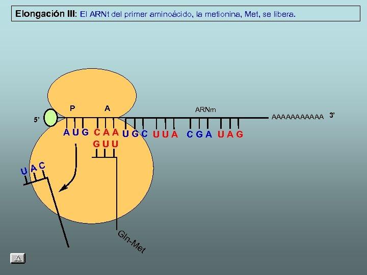 Elongación III: El ARNt del primer aminoácido, la metionina, Met, se libera. P A