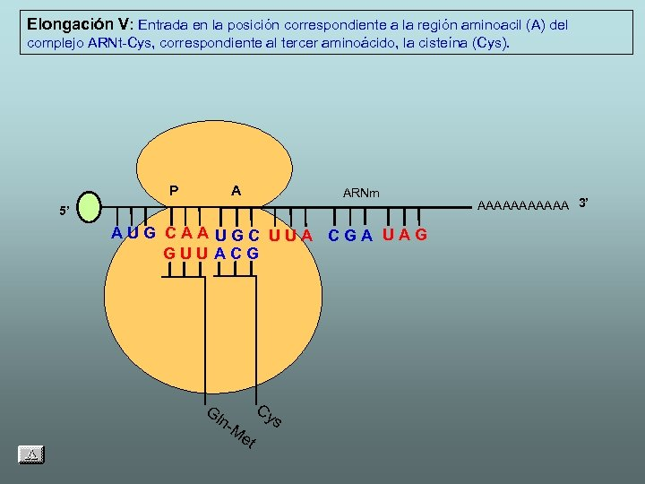 Elongación V: Entrada en la posición correspondiente a la región aminoacil (A) del complejo