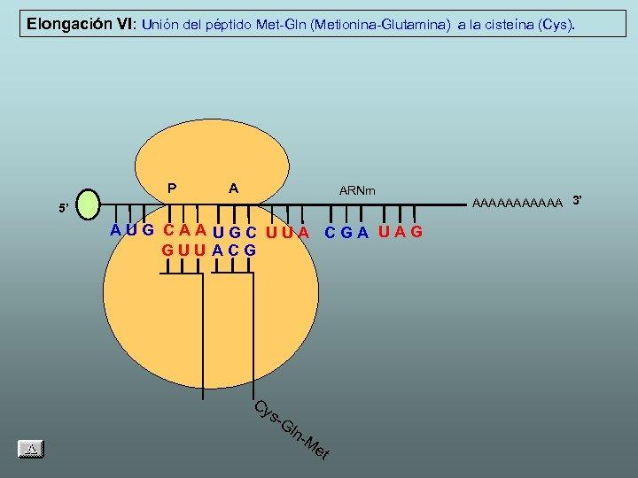 Elongación VI: Unión del péptido Met-Gln (Metionina-Glutamina) a la cisteína (Cys). P A ARNm